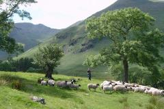 images/keswickgallery/Gathering-sheep-in-Deepdale-Park.jpg